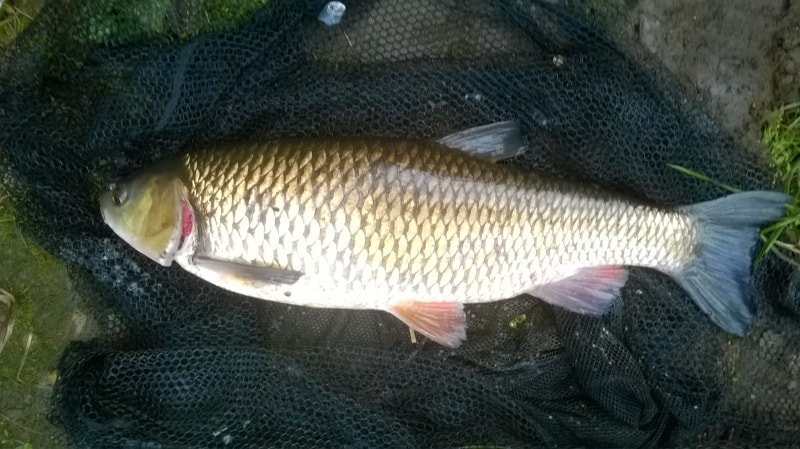 5lb12oz-Chub-Boston-Spa-Aug-2014
