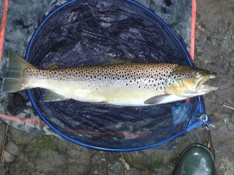6lb10oz-Trout-River-Aire-Myrtle-Park-05-07-15