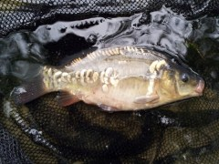 Coppice Pond Mirror Carp