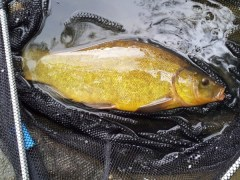 Coppice Pond Tench