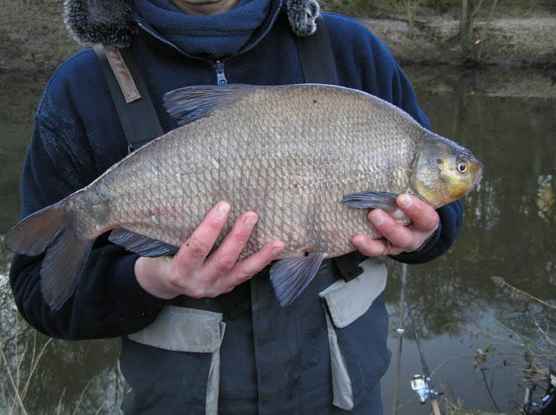 carls-bream-5lb11oz_3