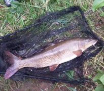11lb2oz Barbel, River Wharfe, Boston Spa